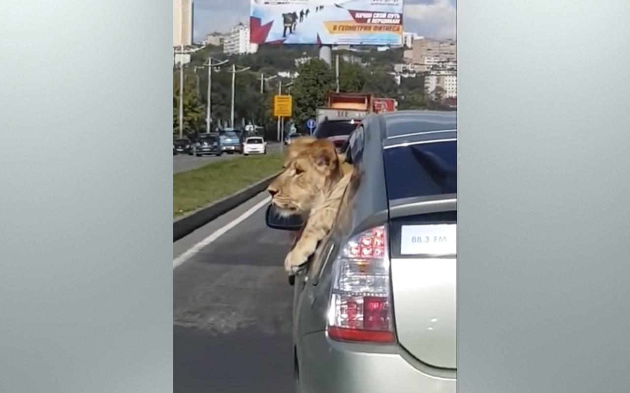 По городу возили… льва!